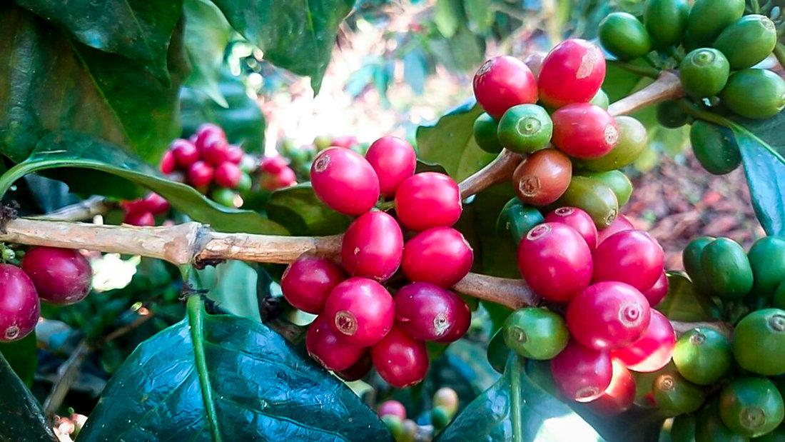 Jose Olaya Kaffeekirschen big