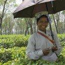 Hungerlöhne im Teeanbau