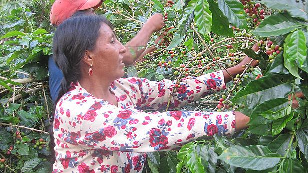 Kaffeepflückerinnen in Bolivien