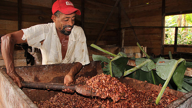 Die Kakaobohnen werden bei CECAQ-11 mehrere Tage in mit Bananenblättern ausgekleideten Kisten fermentiert - so entwickeln sich die Aromastoffe. Bei CECAQ-11 wurden aus Landlosen selbstständige Bio-Bauern. Foto: GEPA - The Fair Trade Company/A. Welsing