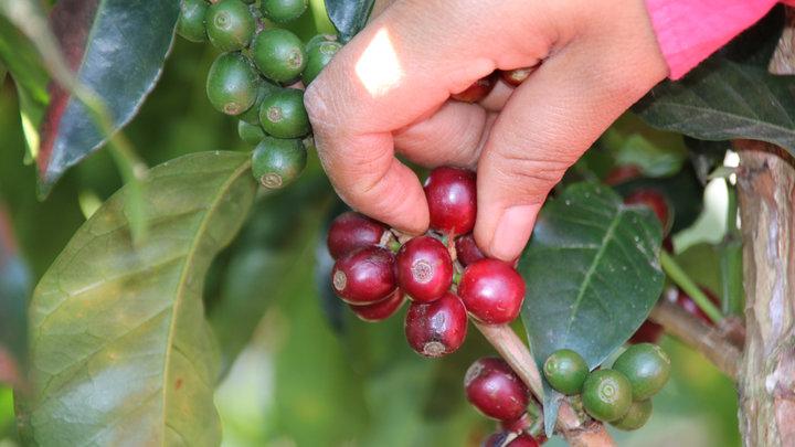 Kaffeekirschen APROLMA big