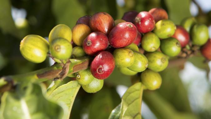 ACPCU Kaffeekirschen mteas